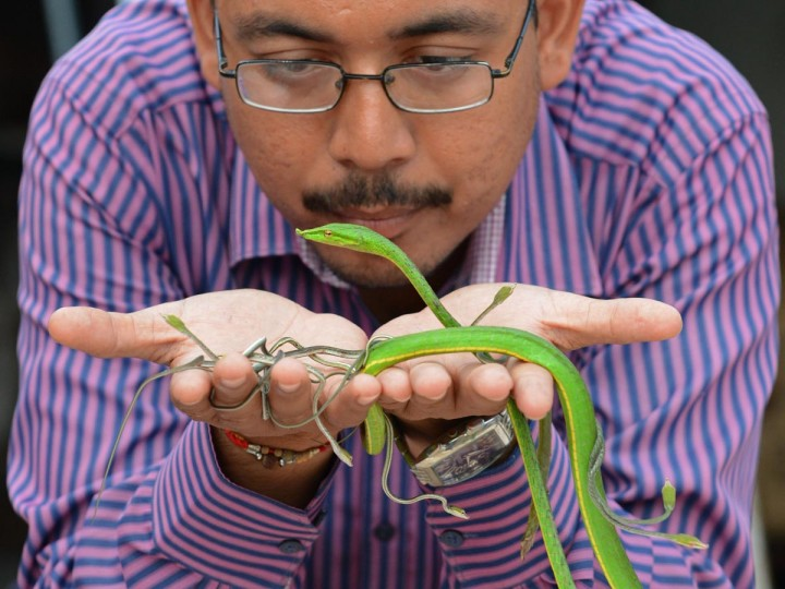 Asha Foundation Animal Shelter and Hospital founder and coordinator Harmesh Bhatt poses with a rescued wine snake and its young at the shelter in the village of Hathijan, some 20 kms from Ahmedabad, on August 29, 2013. The rescued animals which include 18 cobras, four juvenile pythons, a wine snake with its six young offspring, six rat snakes, twelve sand boas and nine scorpions, were rescued from snake charmers invoking Schedule 1 of the Wildlife Protection Act during the Janmashtami fair in Sanand town. The reptiles will eventually be released into the wild. (Sam Panthaky/AFP/Getty Images)