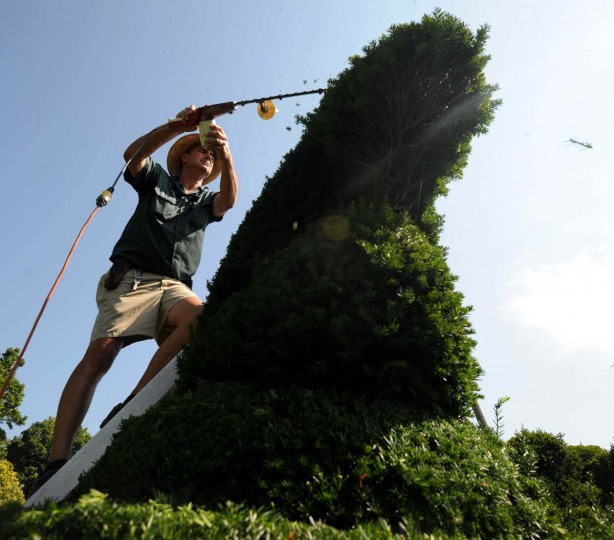 Philip Krach, senior gardener, uses a hedge trimmer to clip a sea horse. Other topiaries include: a salmon on a platter, Winston Churchill's top hat, a butterfly on a flower, two fingers making a peace sign. Kim Hairston/The Baltimore Sun