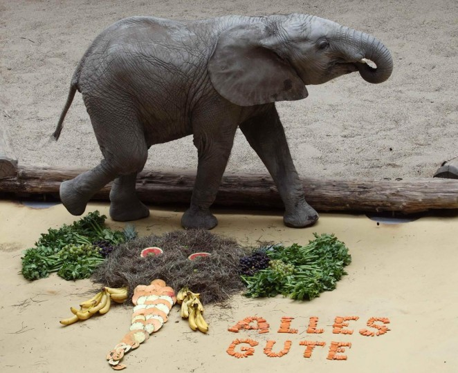 """Male elephant Tuluba who was born at the zoo, walks by a cake made from hay and fruit to celebrate his third birthday at the Schoenbrunn zoo in Vienna August 6, 2013. """"Alles Gute"""" reads """"All the best"""". (Heinz-Peter Bader/Reuters)"""