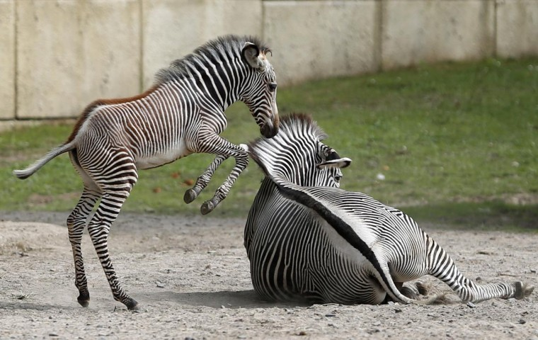 A one-month-old zebra jumps next to its mother in their enclosure at Planckendael's zoo near Mechelen August 20, 2013. (Francois Lenoir/Reuters)