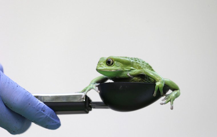 A waxy monkey tree frog is weighed in a measuring device during a photocall to publicize the annual measuring of all the animals at the London Zoo, in central London. (Suzanne Plunkett/Reuters)
