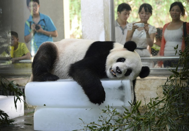 A giant panda lies on blocks of ice to cool off from the summer heat at its zoo enclosure in Wuhan, Hubei province. A record-setting summer heatwave will continue to bake most parts of south China in the upcoming three days, Xinhua News Agency reported. Temperature in Wuhan reached 37 degrees Celsuis (98.6 degrees Fahrenheit). (China Daily/Reuters)