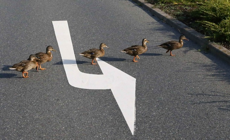 Ducks cross a street near the headquarters of German car manufacturer Opel in Ruesselsheim.. (Ralph Orlowski/Reuters photo)Ducks cross a street near the headquarters of German car manufacturer Opel in Ruesselsheim.. (Ralph Orlowski/Reuters photo)