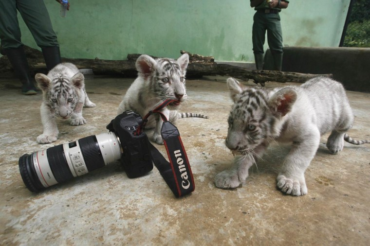 Three Bengal tiger cubs play with a camera at Taman Safari Indonesia in Pasuruan, East Java province August 29, 2013. The zookeepers have to feed the three female cubs, born on July 5, 2013, as their mother has stopped giving them milk, reported local media. (Sigit Pamungkas/Reuters)