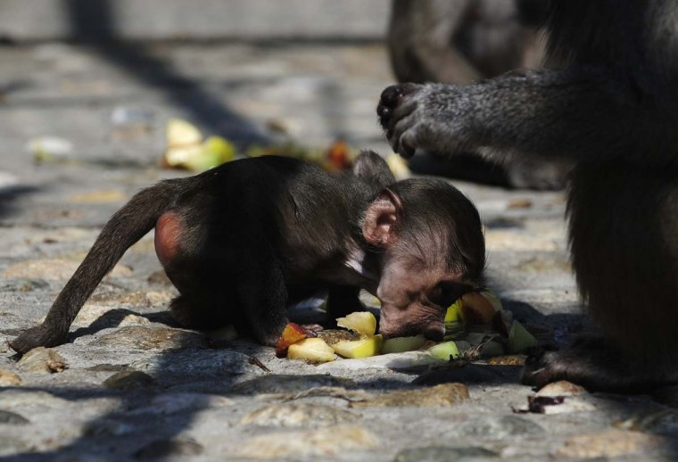 A baby baboon licks frozen slices of fruit during a hot day in its enclosure at the Skopje Zoo August 12, 2013. A heat wave swept across Macedonia with temperature reaching up to 40 degrees Celsius (Ognen Teofilovski/Reuters)