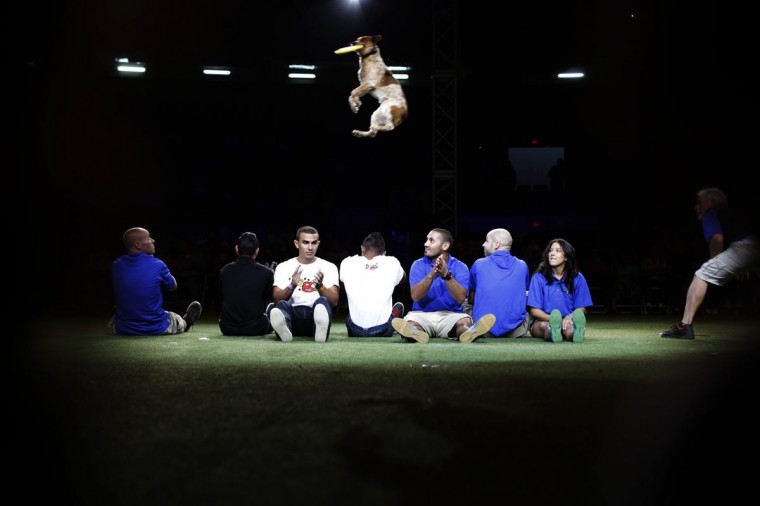 """Grit jumps over people for a frisbee as he performs in """"DOGS: The Incredible Dog Show"""" during their tour in Panama City August 24, 2013. (Carlos Jasso/Reuters)"""