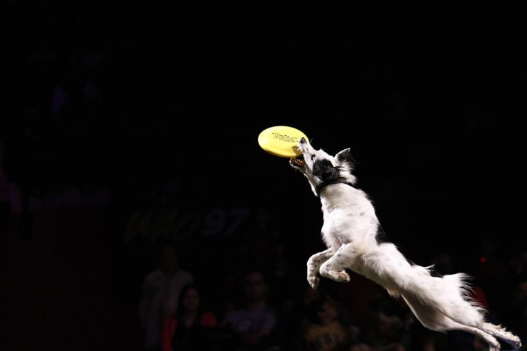 "Matrix jumps for a frisbee as he performs in ""DOGS: The Incredible Dog Show"" during their tour in Panama City August 24, 2013. (Carlos Jasso/Reuters)"
