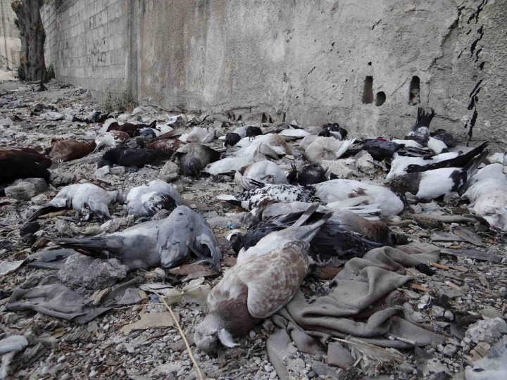 Pigeons lie on the ground after dying from what activists say is the use of chemical weapons by forces loyal to President Bashar Al-Assad in the Damascus suburbs of Arbeen August 24, 2013. (Ammar Dar/Reuters)