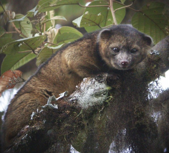 """An """"olinguito (Bassaricyon neblina),"""" described as the first carnivore species to be discovered in the American continents in 35 years, is pictured in a cloud forest in South America, in this photograph released on August 15, 2013. The Smithsonian Institution said on Thursday the new species had been mistaken for similar mammals in the Procyonidae family, which includes raccoons, for decades, and that a team of Smithsonian scientists identified it from overlooked museum specimens and trips to Ecuador. (Mark Gurney/Smithsonian Institution/ via Reuters)"""