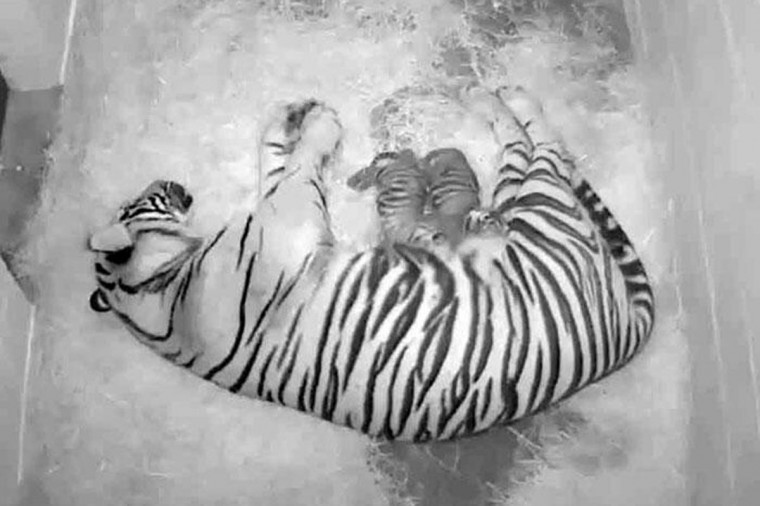 The National Zoo's female Sumatran tiger Damai tends to her two new cubs in this August 8, 2013 handout still image from video. Damai, gave birth to two cubs August 5, 2013. This is Damai's first litter of cubs, sired by the Zoo's 12-year-old male tiger, Kavi. (Smithsonian's National Zoo/Handout via Reuters)