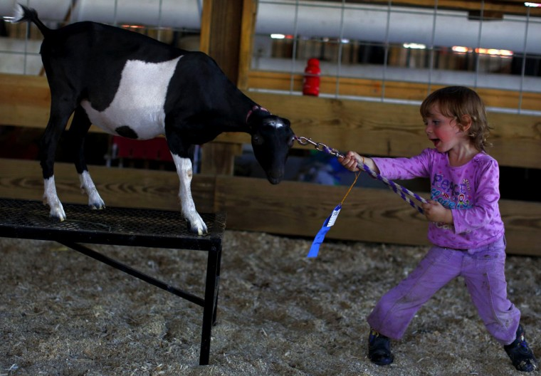 Gabriella Chapman attempts to run Christa the goat through the 4-H obstacle course during the Cattaraugus County Fair in Little Valley, New York. (Brendan McDermid/Reuters)