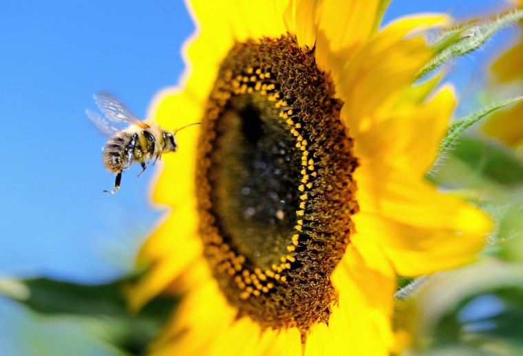 A bumblebee flies next to a sunflower in Godewaersvelde, France. (Philippe Huguen/Getty Images)