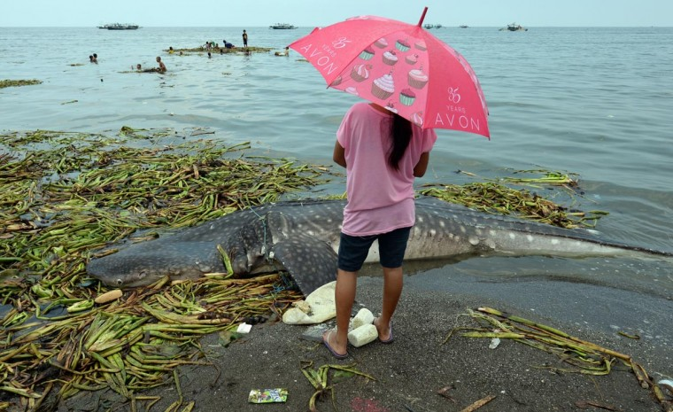 A resident looks at the carcass of the 300 kilograms (660 pounds) juvenile whale shark (L) washed ashore along a fishing village in Tanza town, Cavite province, west of Manila on September 5, 2013. A dead young whale shark has washed ashore in Manila Bay near the Philippine capital, far from the endangered giant fish's traditional feeding grounds, fishermen and a wildlife official said on September 5. (Ted Aljibe/AFP/Getty Images)