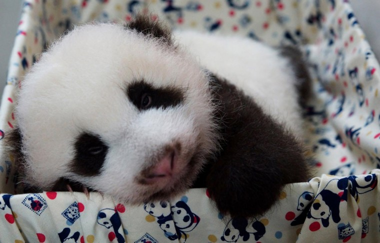 This undated handout photograph released by the Taipei City Zoo on September 8, 2013 shows a panda cub at the Taipei City Zoo. The cub, the first panda born in Taiwan, was delivered on July 7 following a series of artificial insemination sessions after her parents -- Yuan Yuan and her partner Tuan Tuan -- failed to conceive naturally. (Taipei City Zoo via AFP/Getty Images)
