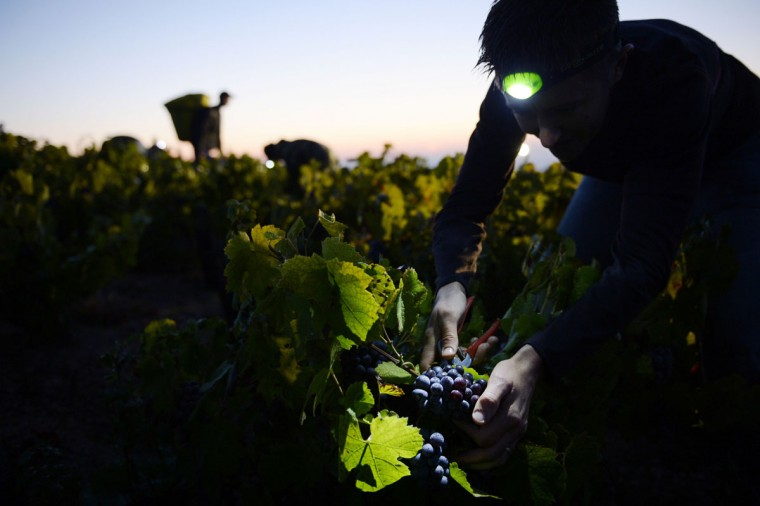 "A picker working overnight cuts grapes at dawn on the first day of the Beaujolais' harvest on September 24, 2013 in the ""Moulin a Vent"" vineyard, near Chenas, Beaujolais, eastern France. Harvest in Beaujolais region will run until October 20. (Philippe Desmazes/AFP/Getty Images)"