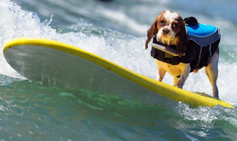 A dog rides a wave while competing during the 5th Annual Surf Dog competition at Huntington Beach, California, on September 29, 2013. (Frederic J. Brown/AFP)