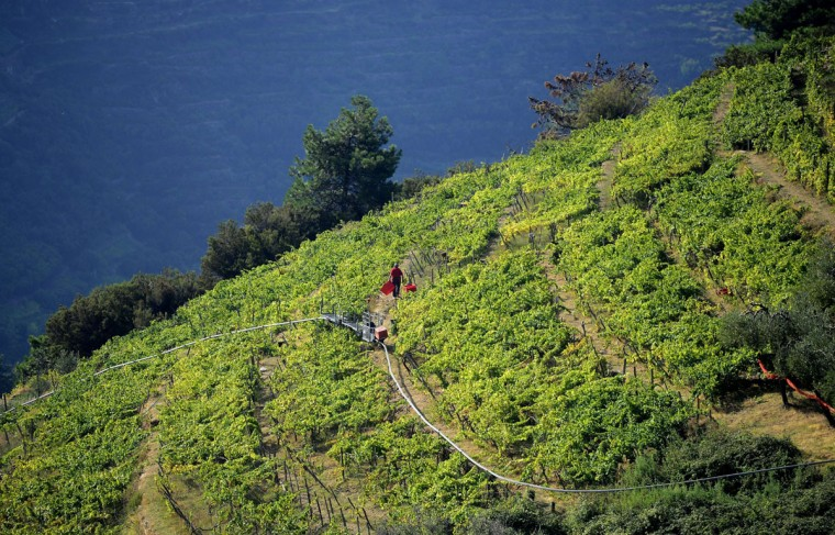 """A grape harvester walks through a steep field crossed by a monorail in the village of Manarola in the """"Cinque Terre"""" area. Wine picking is atypical due to the steep land, close to 50 degrees in some areas. (OLIVIER MORIN / AFP/Getty Images)"""
