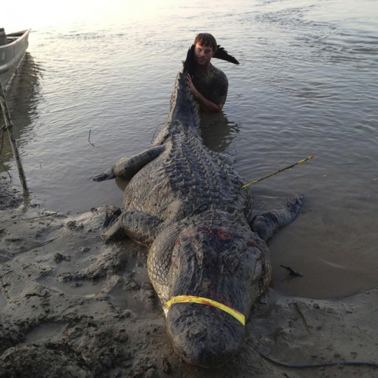 Dustin Bockman is pictured with his record setting alligator, weighing 727 pounds (330 kg) and measuring 13 feet (3.96 m), captured in Vicksburg, Mississippi on September 1, 2013. Dustin Bockman, a 27-year-old UPS driver, and his crew spotted the mammoth creature in the Mississippi River and trailed it for two hours before getting close enough to spear it. It took another two hours to hook it with a second line and noose its neck. (Ryan Bockman/Handout via Reuters)