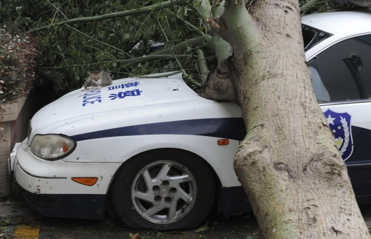 A cat lies on a police car that is damaged by a fallen tree after Typhoon Usagi hit Shanwei, Guangdong province. (Reuters photo)