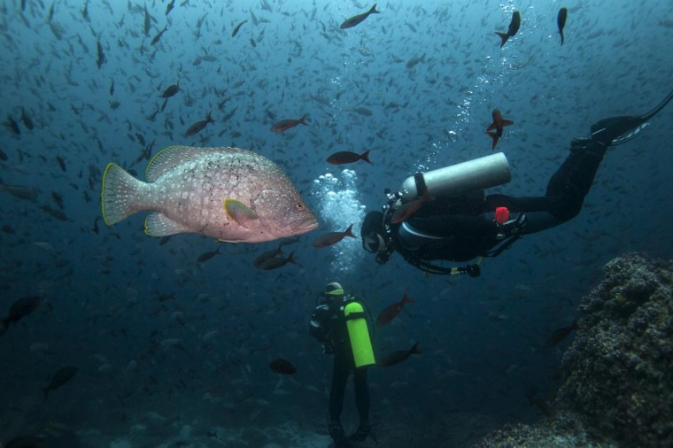 A scuba diver swims next to a Leather Bass close to Wolf Island at Galapagos Marine Reserve August 19, 2013. (Jorge Silva/Reuters)