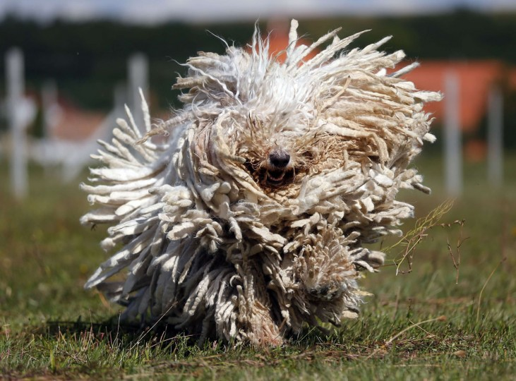 A Komondor, a traditional Hungarian guard dog, shakes its long fur in Bodony, 130 km northeast of Budapest. Komondors, a traditional Hungarian breed, have a fur coat that weighs 30 kg (60 pounds). The kennel has won several awards but makes hardly any money as dogs without pedigrees have displaced pure breeds from the market in recent years. (Laszlo Balogh/Reuters)