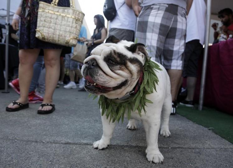 An English Bulldog wears a marijuana-leaf lei at the High Times U.S. Cannabis Cup in Seattle, Washington September 8, 2013. (Jason Redmond/Reuters)