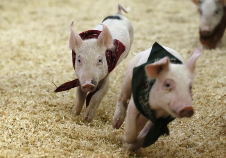 Piglets race at the Los Angeles County Fair in Pomona, California September 4, 2013. (Lucy Nicholson/Reuters)