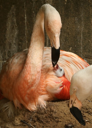 A four-day-old Chilean flamingo chick feed by its father named Migi Aka as covered his wing at the Himeji Central Park in Himeji, Japan. The baby flamingo was born on September 29 and will take up to two or three years to fully develop the pink feathers of mature adults. (Buddhika Weerasinghe/Getty Images)
