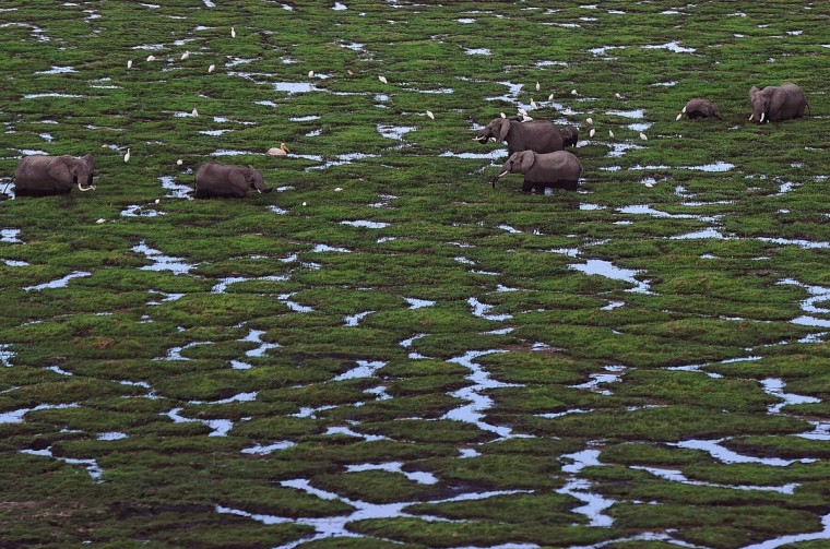 Elephants graze in a marsh at Amboseli National Park, approximately 220 kms southeast of Nairobi. Kenyan and Tanzanian governments started on October 7 a joint aerial count of elephants and other large mammals in the shared ecosystem of the Amboseli-West Kilimanjaro and Natron- Magadi landscape. The one-week exercise, cost 104,000 US dollars, is a collaboration between the two countries and the Kenya Wildlife Service (KWS), Tanzania Wildlife Research Institute (TAWIRI) and the African Wildlife Foundation (AWF) among others. (Tony Karumba/Getty Images)