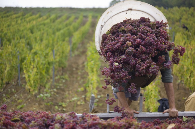 Workers pick grapes during the harvest at the Chateau l'Etoile vineyard in l'Etoile. (Sebastien Bozon/Getty Images)