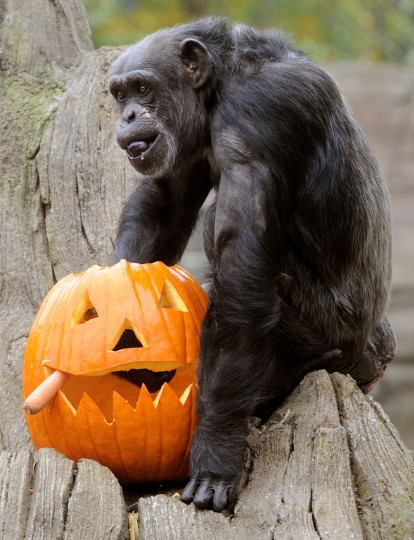 Chimpanzee Schika plays with a Helloween pumpkin in its enclosure in the zoo Hanover, northern Germany. (Holger Holleman/Getty images)