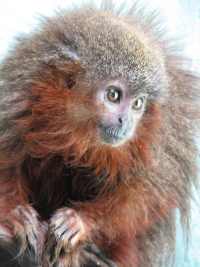 A Callicebus caquetensis (Caqueta Titi Monkey). At least 441 new species of animals and plants have been discovered over the past four years in the rainforest in of the Amazon, the WWF announced on October 23, 2013. Among them a flame-patterned lizard, a vegetarian piranha, a thumbnail-sized frog and a monkey that purrs like a cat. (Javier Garcia/Getty Images)