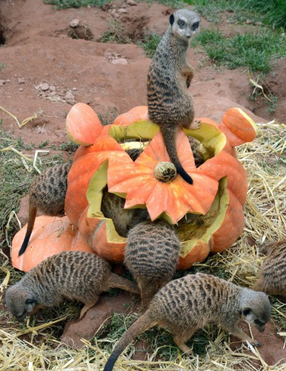 Meerkats inspect a pumpkin carved in Halloween design and filled with flour worms and straw on September 24, 2013 at the zoo in Leipzig, eastern Germany. Suited to the upcoming Halloween holiday, the animals' enclosure is decorated with pumpkins and delights meerkats and visitors. (Waltraud Grubitzsch/Getty Images)