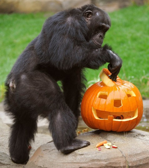 Chimpanzee Toto plays with a Halloween pumpkin in its enclosure in the zoo in Hanover, northern Germany, on October 16, 2013. (Holger Hollemann/Getty Images)