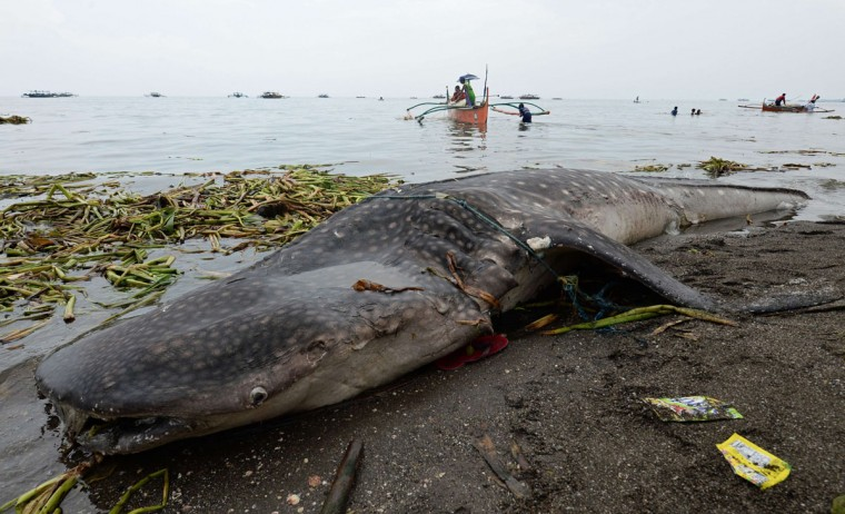 Fishermen clean their nets while the carcass of the 660-pound juvenile whale shark is seen after it washed ashore along a fishing village in Tanza town, Cavite province, west of Manila. (TED ALJIBE/AFP/Getty Images)