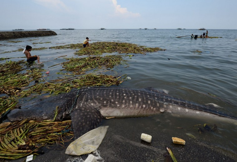 Children play on the water lilies near the carcass of a 660-pound juvenile whale shark that washed ashore along a fishing village in Tanza town, Cavite province, west of Manila. (TED ALJIBE/AFP/Getty Images)