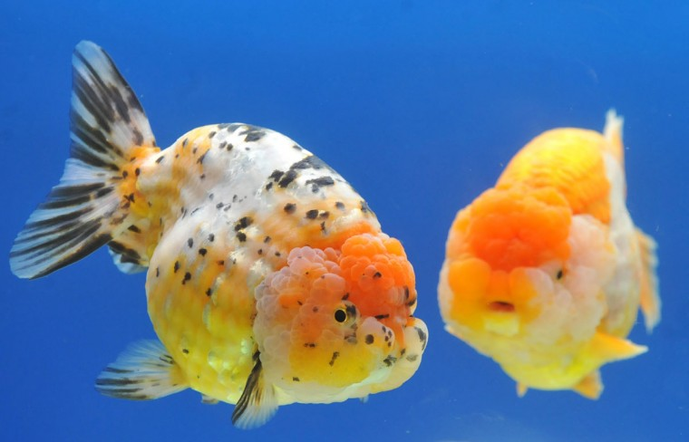 Two giant Ranchu fish are displayed during a news conference before the 2013 Taiwan International Aquarium Expo in Taipei. (Mandy Cheng / AFP/Getty Images)
