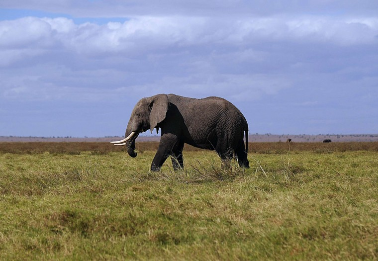 An elephant walks at Amboseli National Park, approximately 220 kilometers southeast of Nairobi. (TONY KARUMBA / AFP/Getty Images)