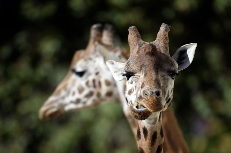 Giraffes are seen at the zoo in Antwerp. (MARTIN BUREAU / AFP/Getty Images)