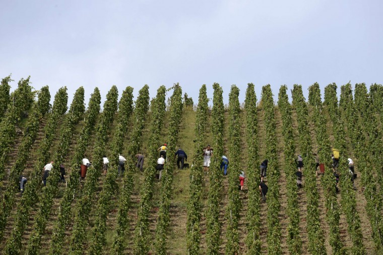 People at work during the harvest of the Appellation d'Origine Controlee Cote-Rotie vineyard in Ampuis near Lyon, southeastern France. (PHILIPPE DESMAZES / AFP/Getty Images)