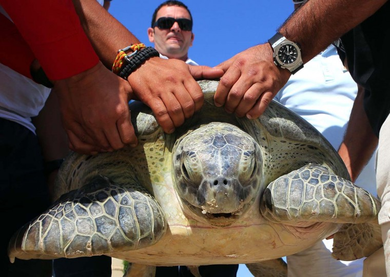 Members of the Kuwait Environment Protection Society ready to release a green sea turtle at the Jumairah Beach Hotel and Spa in Kuwait City on October 6, 2013. The turtle, aged 45 years old and weighing 150 kilograms, was rescued from a fishing trap near the Failaka Island and released after undergoing medical attention. A tracking device was fixed on the turtle's back in order to help the KEPS study the animal's movement in territorial waters. (Yasser A;-Zayyaty/AFP)