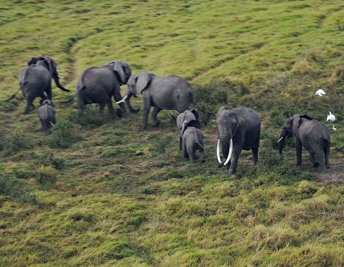 Elephants react to an approaching airplane at Amboseli National Park, approximately 220 kilometers southeast of Nairobi. (TONY KARUMBA / AFP/Getty Images)