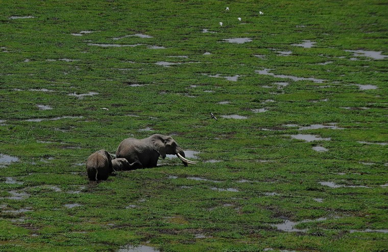 Elephants graze at Amboseli National Park, approximately 220 kilometers southeast of Nairobi. (TONY KARUMBA / AFP/Getty Images)