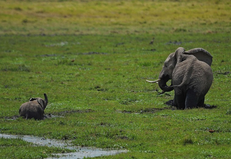 An elephant and its calf graze at Amboseli National Park, approximately 220 kilometers southeast of Nairobi. (TONY KARUMBA / AFP/Getty Images)