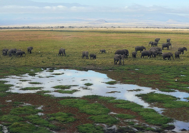 Elephants walk next to a marsh at Amboseli National Park, approximately 220 kilometers southeast of Nairobi. (TONY KARUMBA / AFP/Getty Images)