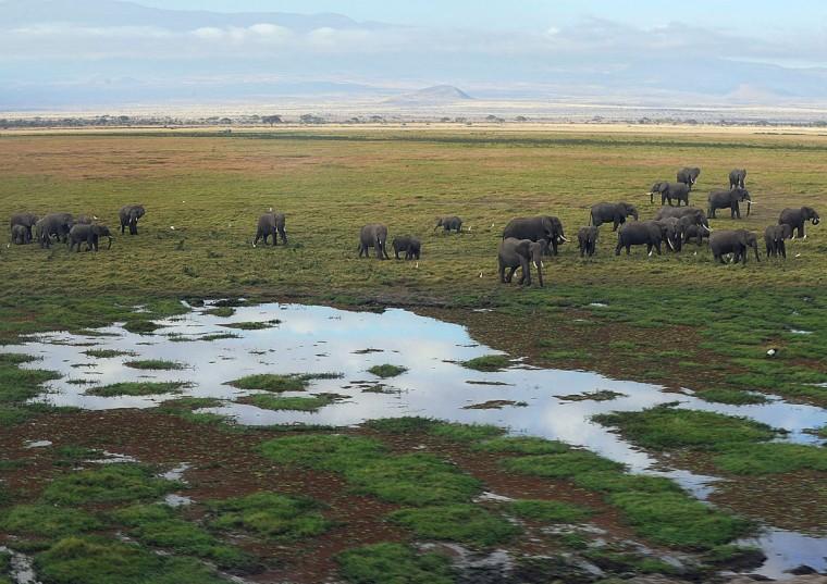 Elephants walk next to a marsh at Amboseli National Park, approximately 220 kilometers southeast of Nairobi. (TONY KARUMBA / AFP/Getty Images)