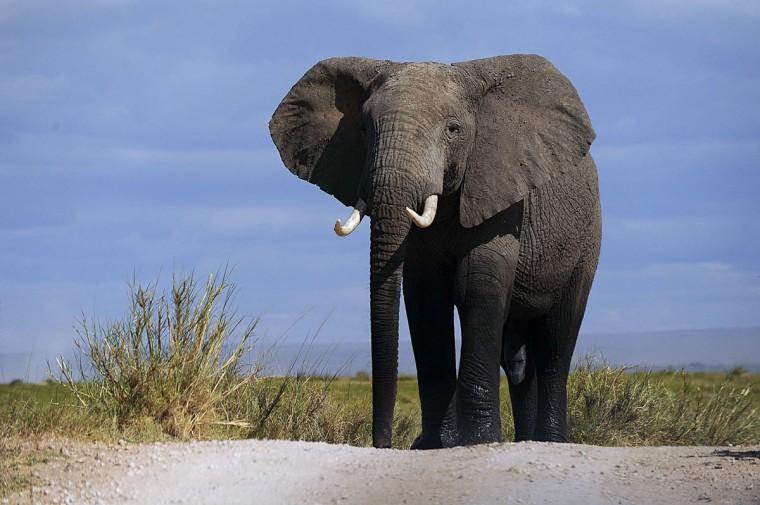 A bull elephant walks at Amboseli National Park, approximately 220 kilometers southeast of Nairobi. (TONY KARUMBA / AFP/Getty Images)