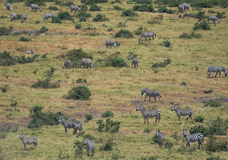 Zebras are seen at Amboseli National Park, approximately 220 kilometers southeast of Nairobi. (TONY KARUMBA / AFP/Getty Images)