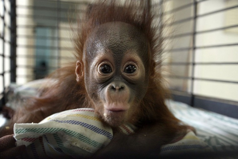 "Four-month-old orangutan Rizki is seen inside his cage at the Surabaya zoo in Surabaya on Thursday. An endangered Borneon orangutan died Thursday at Indonesia's ""death zoo,"" the latest in a rash of suspicious animal deaths that have prompted calls to close the notorious site. (JUNI KRISWANTO/AFP/Getty Images)"