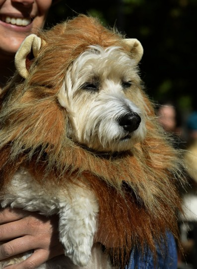A dog dressed as a lion participates in the 23rd Annual Tompkins Square Halloween Dog Parade on October 26, 2013 in New York City. Thousands of spectators gather in Tompkins Square Park to watch hundreds of masquerading dogs in the countrys largest Halloween Dog Parade. (Timothy Clary/AFP/Getty Images)